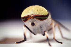abanus lineola Male - Horse Fly