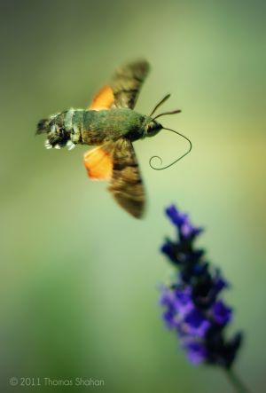 Hummingbird Hawk Moth - Macroglossum stellatarum - Arezzo, Italy