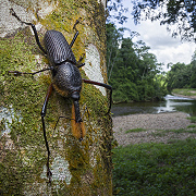 Bearded Weevil (Rhinostomus barbirostris) - Cayo District, Belize