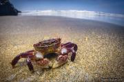 Hemigrapsus nudus - Crab on Neskowin Beach