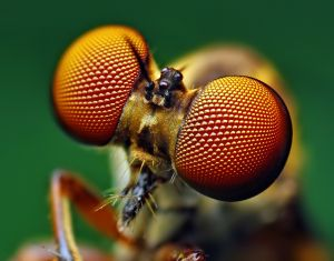 Holcocephala fusca Robber Fly
