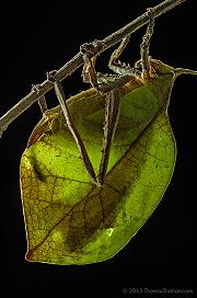 Katydid - Belize