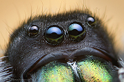 Male Phidippus audax Eyes - Oregon