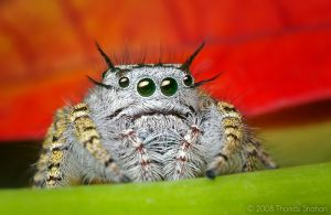 Adult Female Phidippus mystaceus Jumping Spider