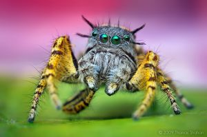 Adult Male Phidippus mystaceus Jumping Spider