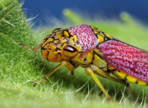 Oncometopia orbona Leafhopper