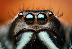 Adult Male Paraphidippus aurantius Jumping Spider