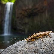Plecopteran below Abiqua Falls - Oregon