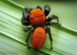 Adult Male Phidippus apacheanus Jumping Spider